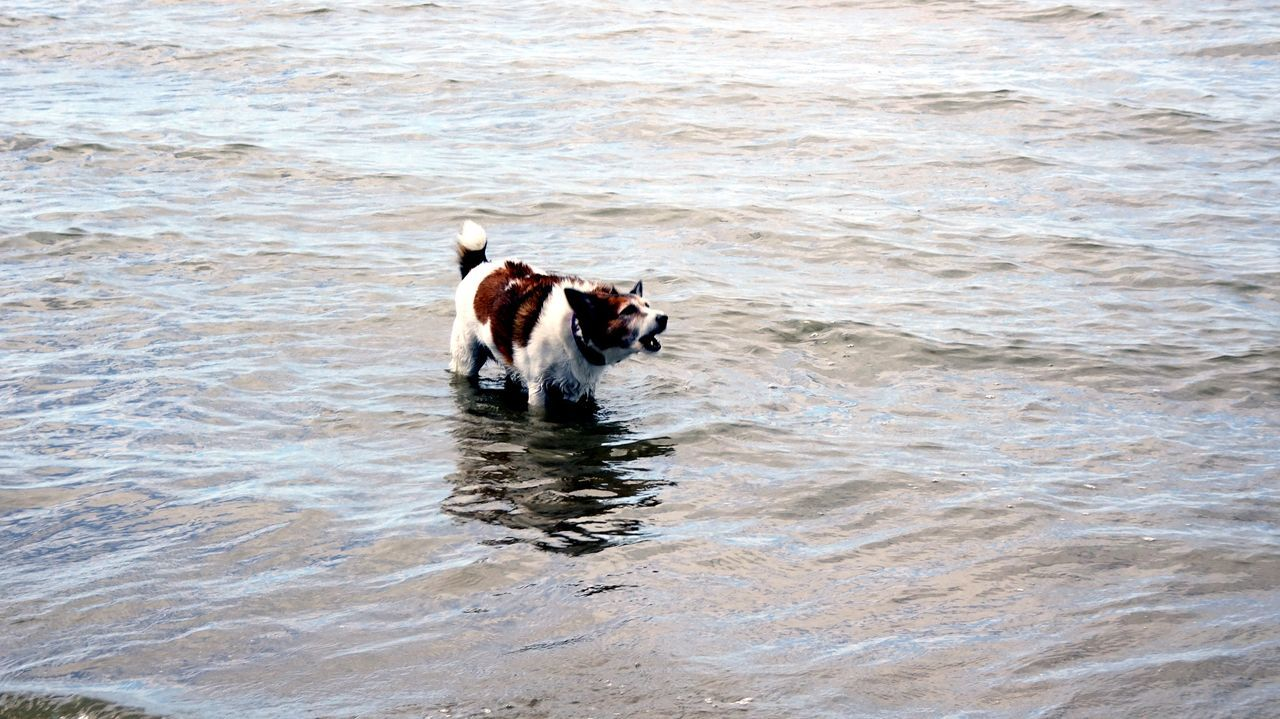 Barking Dog Dog Barking At Wave Dog In Water Dog Love Domestic Animals Enjoying Life Low Tide Morton Bay Waters My Furry Friend