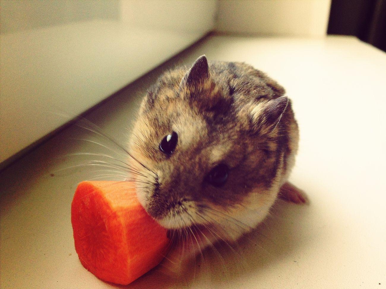 хомяк морковка милости животные