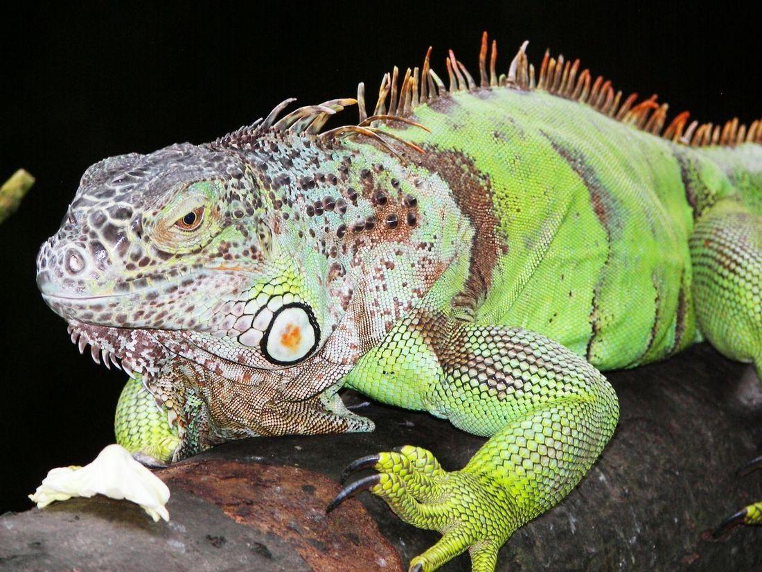 Green iguana... Green Iguana Iguana Reptile Animal Living Things Beautiful Creatures Nature Wildlife Green Wildlife & Nature Zoo Zoo Animals  Eyem Best Shots EyeEm Nature Lover Eyeem Animal Taking Photos Enjoying Life Memories Relaxing