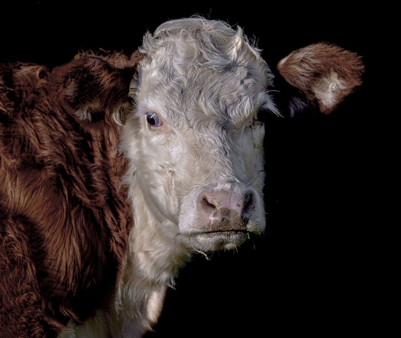 Hereford Cow. Agriculture Animal Animal Body Part Animal Head  Animal Themes Black Background Cattle Close-up Day Livestock Mammal Nature No People Outdoors Young Animal