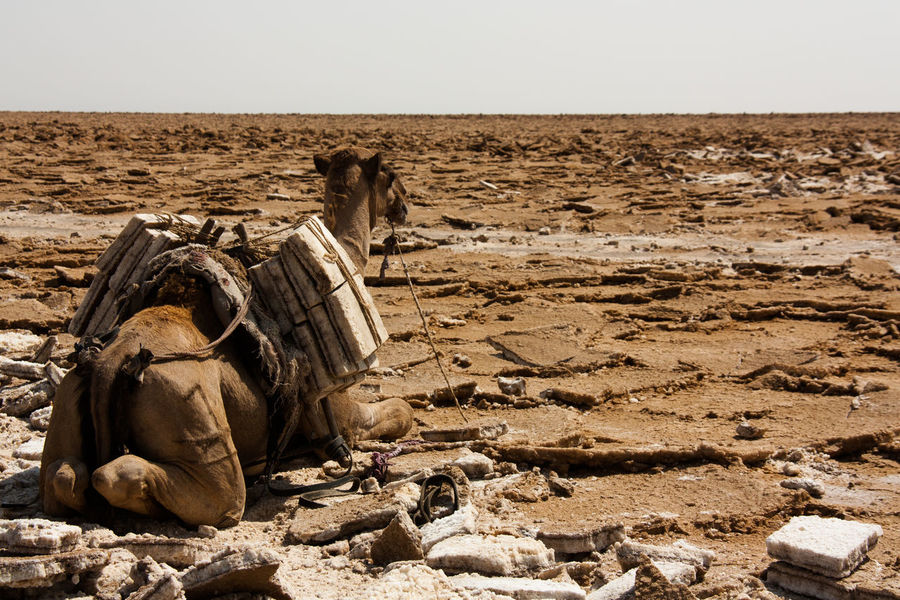 A camel loaded with salt blocks in the Danakil Depression Camel Danakil  Danakil Depression Desert Ethiopia Landscape Non-urban Scene Outdoors Rock - Object Salt Tranquil Scene Travel Destinations