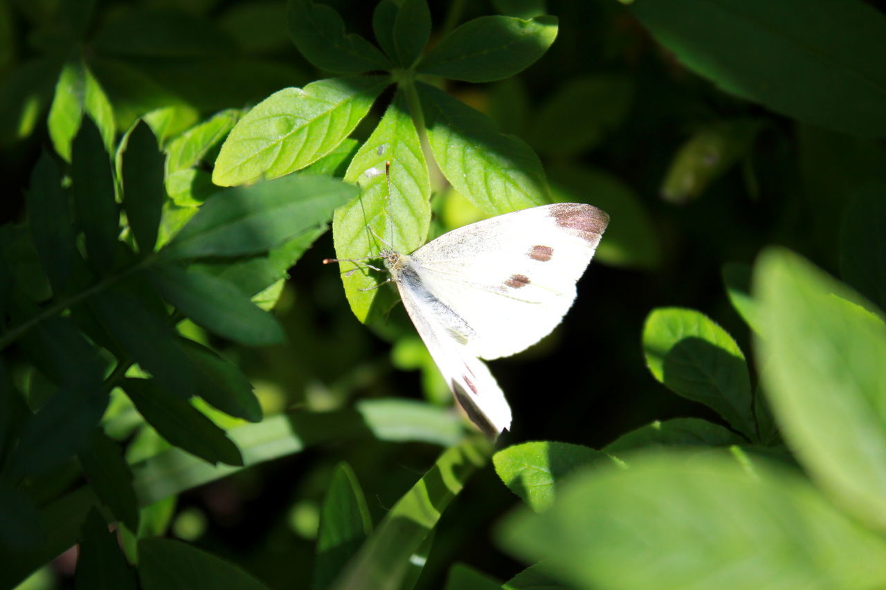 insect, one animal, leaf, animal themes, animals in the wild, green color, butterfly - insect, butterfly, close-up, no people, plant, fragility, nature, day, outdoors, growth, animal wildlife, spread wings