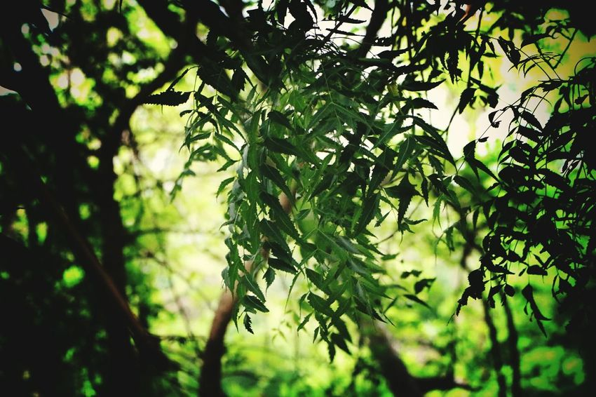 Outdoors Beauty In Nature Nature Tree Freshness Day Green Color Leaf Neem Tree