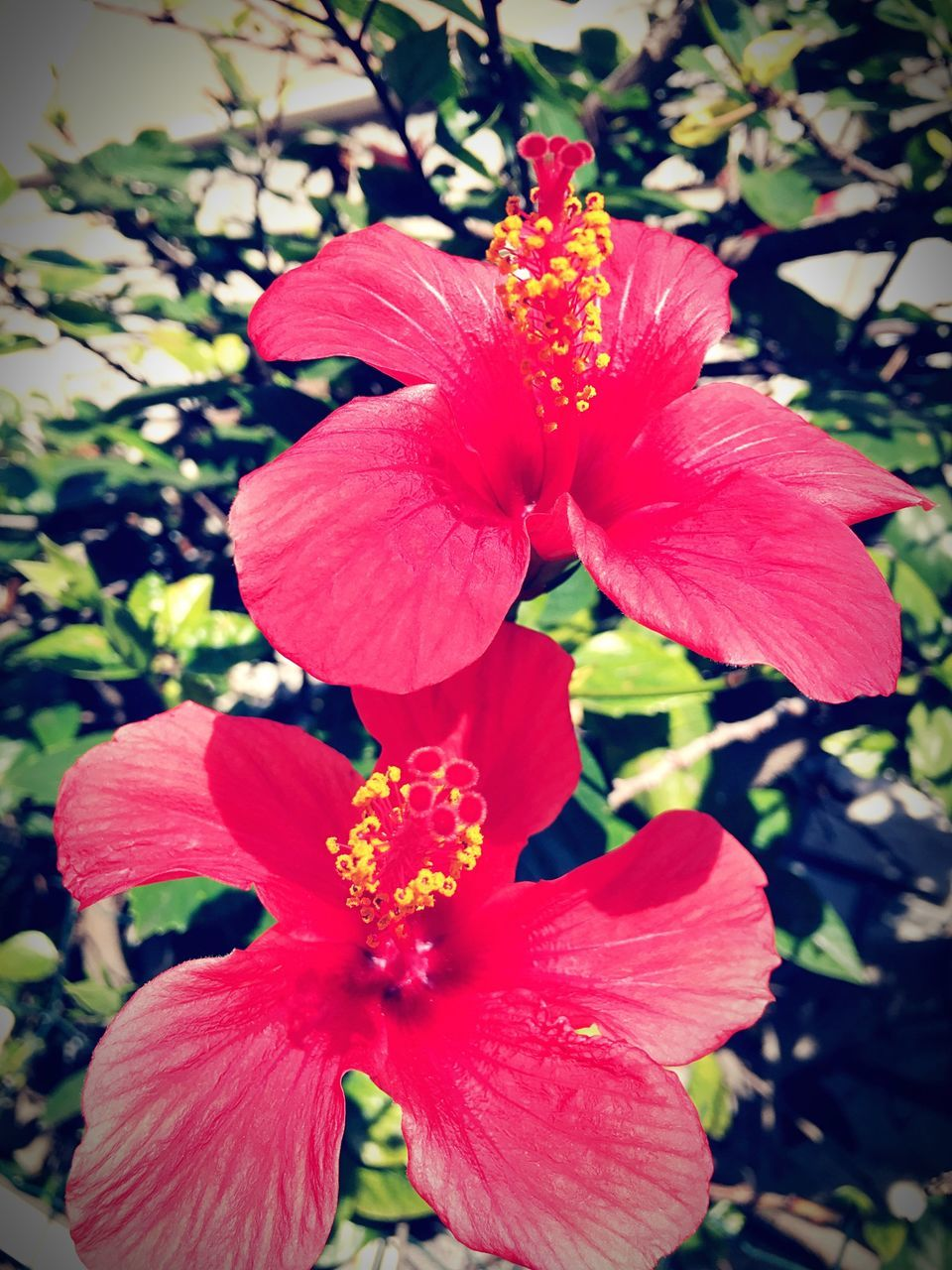flower, petal, beauty in nature, fragility, nature, flower head, growth, freshness, plant, hibiscus, blooming, day, no people, outdoors, red, stamen, close-up