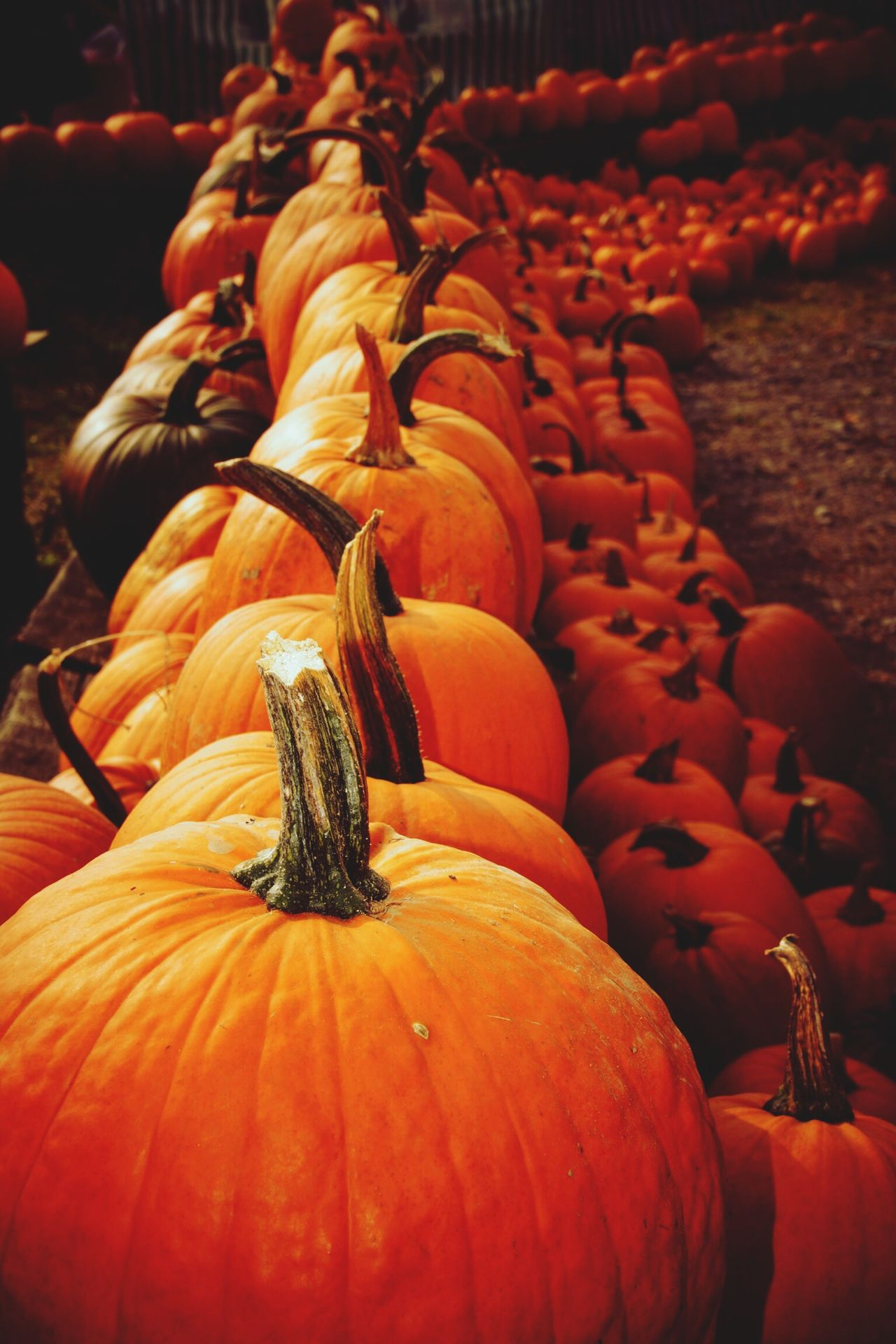 Halloween Pumpkin Orange Autumn Pumpkins Nature Beauty In Nature Large Group Of Objects Orange Color Orange By Motorola