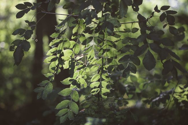 ~ 🌿🍃~ Leaf Growth Close-up Green Color Plant Focus On Foreground Nature Botany Freshness Beauty In Nature Day Plant Life Outdoors Springtime Green Fragility In Bloom Tranquility Scenics Growing Getting Inspired Light And Shadow Sunset No People Plants