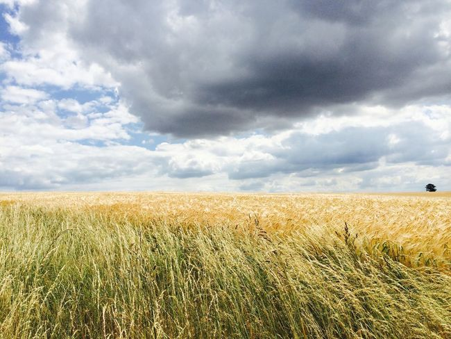 Agriculture Beauty In Nature Cereal Plant Cloud Cloud - Sky Crop  Day Farmland Field Golden Wheat Growth Horizon Over Land Landscape Layers And Colors Rural Scene Scenics Sky Tranquil Scene Turbulence