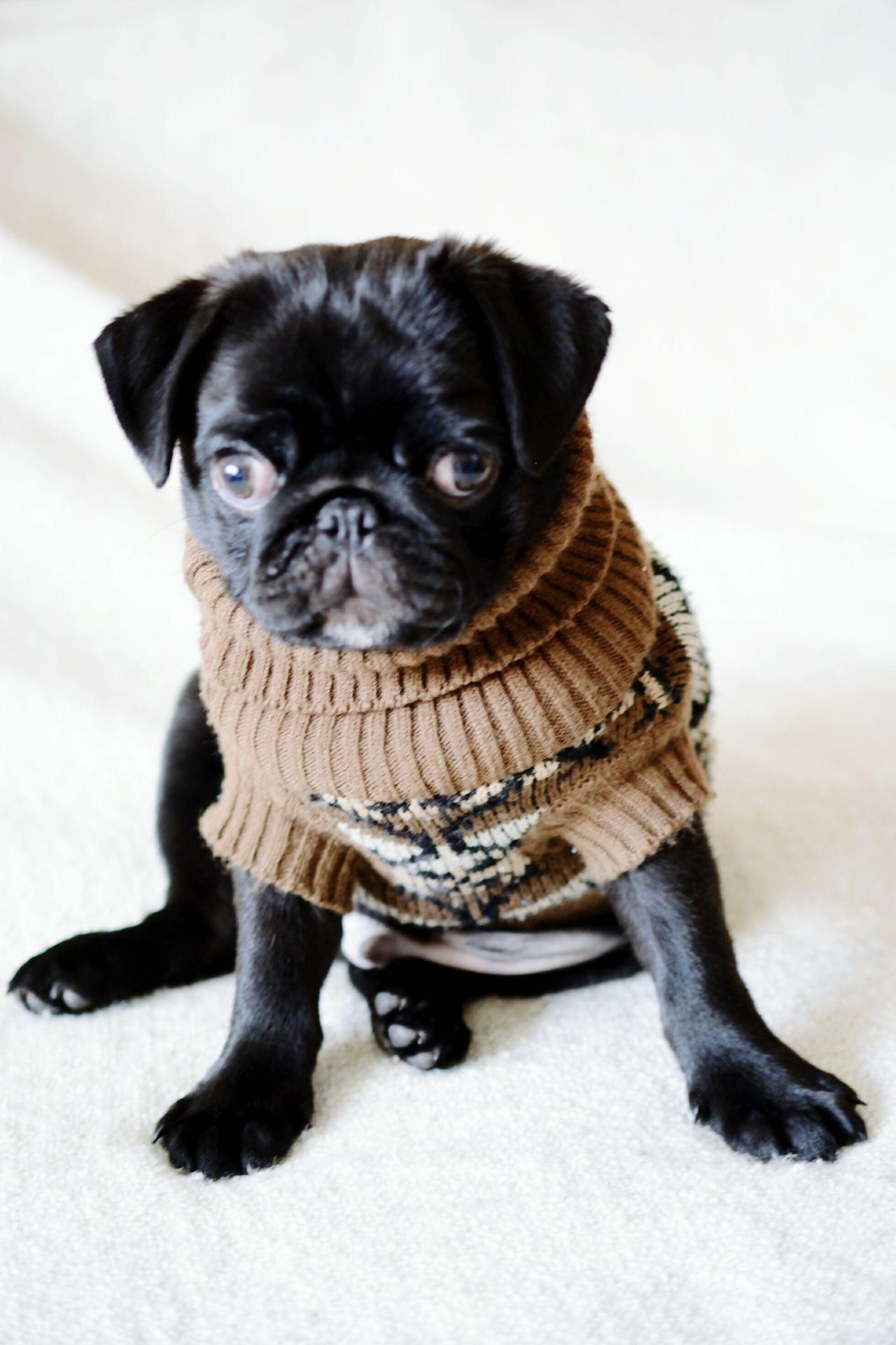 dog Puppy Dog Dutch Mastiff