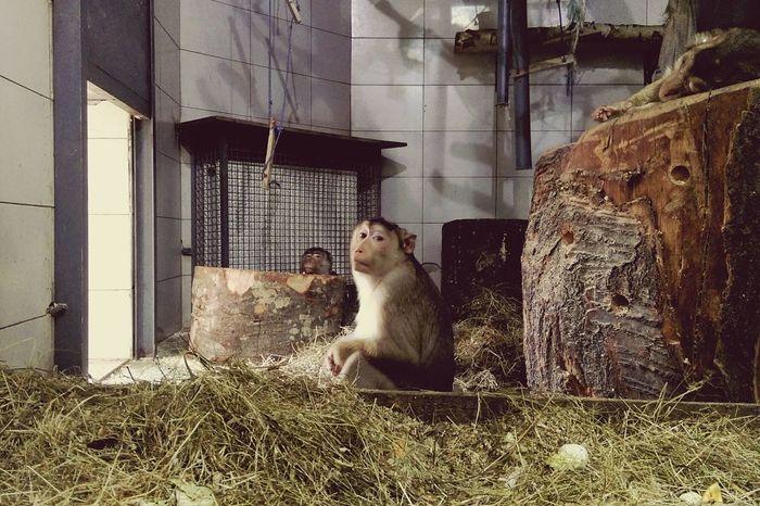 Monkey Monkeys Monkey Business Zoo