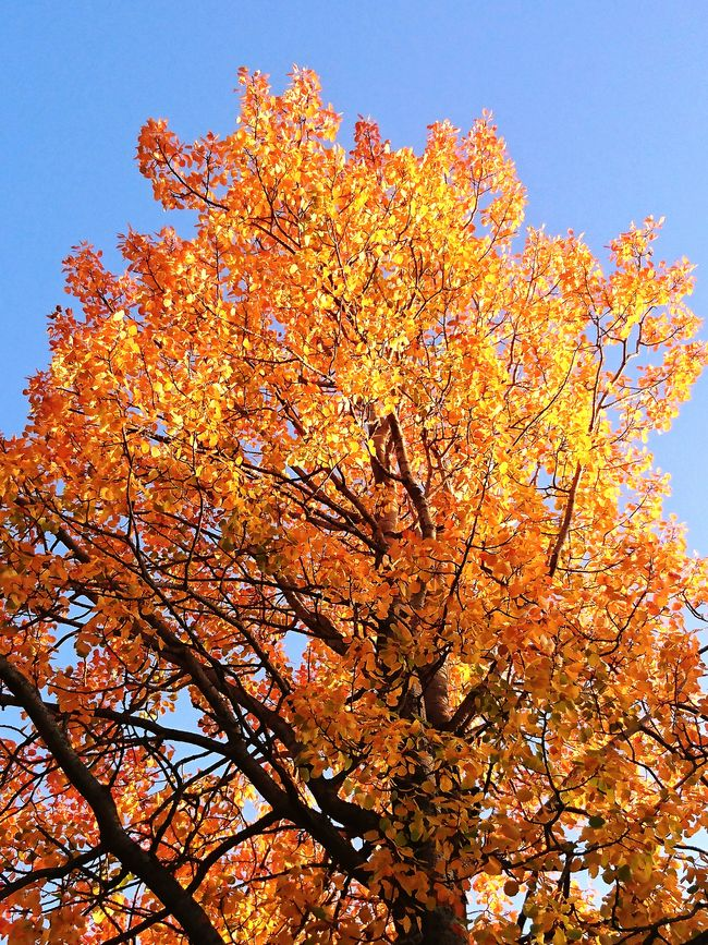 Fall Colors Tree Clear Sky Beauty In Nature Leaves Nature