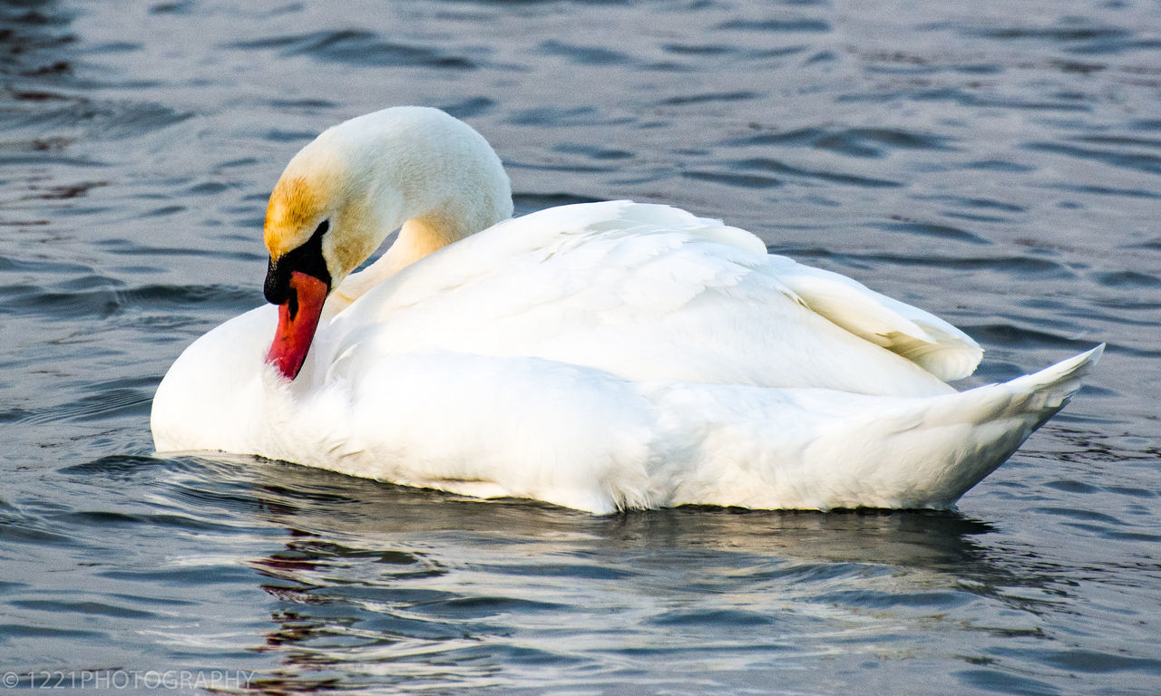 Animals In The Wild Bird One Animal Swan Animal Wildlife Animal Themes Day Water Outdoors No People Nature Close-up Swans Swans On The Lake