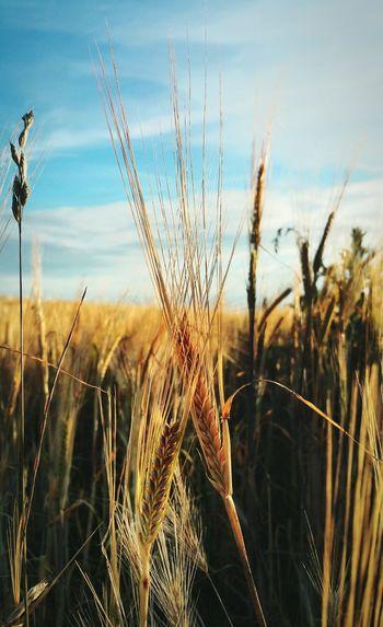 Barley 😍... Field Corn Seed Seeds Grains Norfolk Uk Countryside Farm Fields Plants ячмень поле