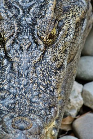 Alligator Animal Scale Animal Themes Animal Wildlife Animals In The Wild Close-up Close-up Shot Crocodile Day Iguana Nature No People One Animal Outdoors Reptile Water