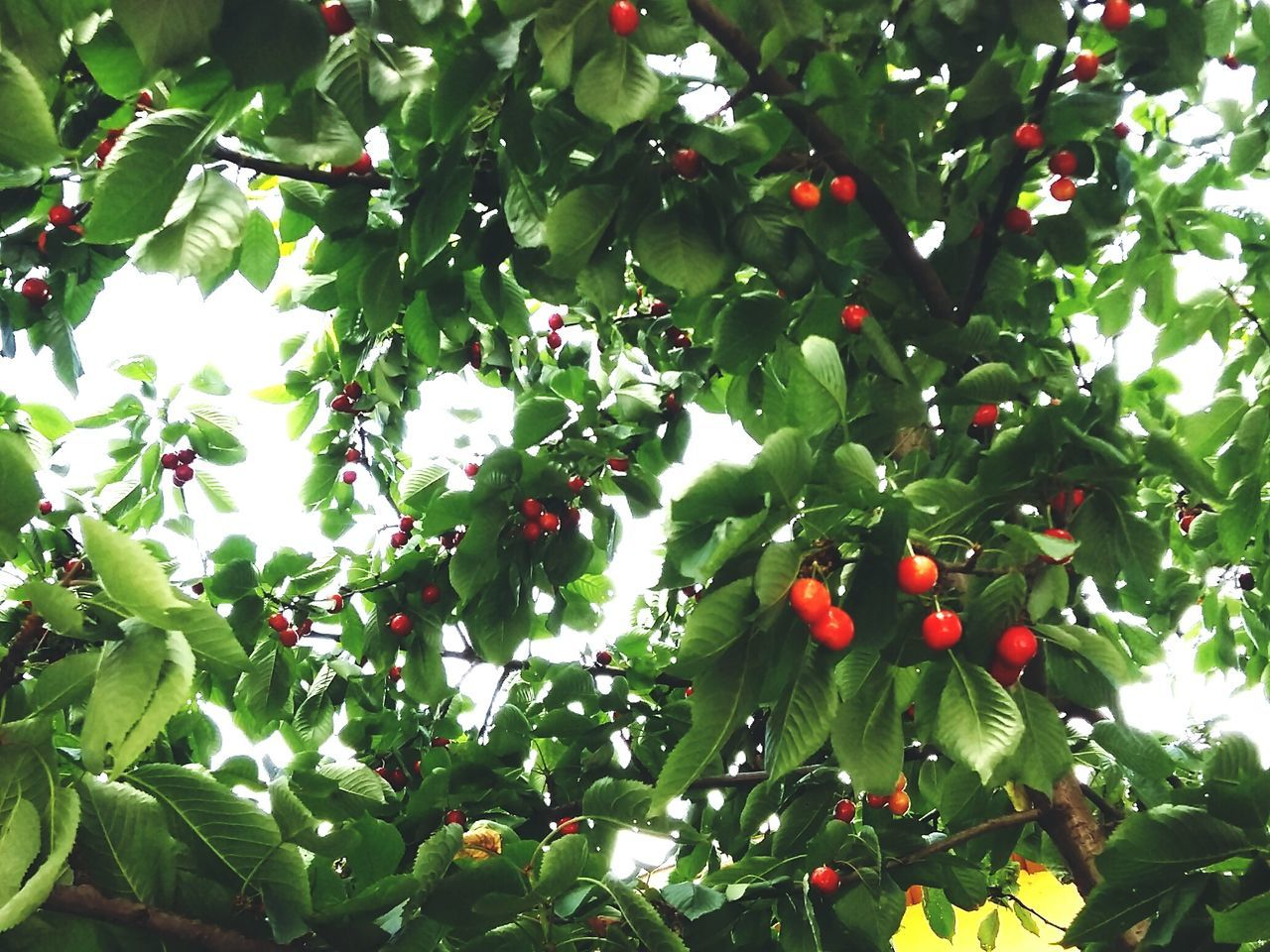 fruit, growth, tree, food and drink, red, green color, food, nature, healthy eating, outdoors, day, rowanberry, freshness, leaf, low angle view, branch, no people, beauty in nature, close-up