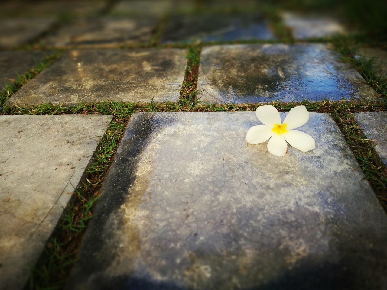 no people, day, outdoors, nature, growth, flower, close-up, beauty in nature, frangipani