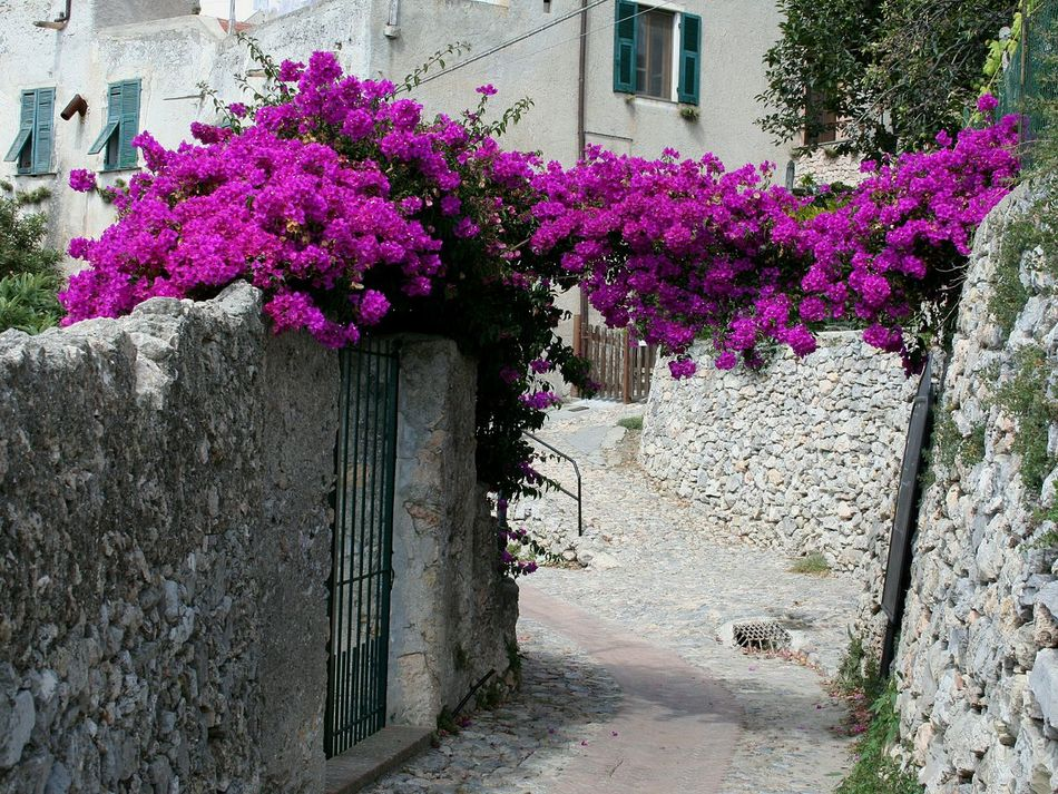 Flower Purple Built Structure Plant No People Nature Growth Fragility Fuchsia Blooming Travel Destinations Liguria,Italy Blooming In The Street Vicolo Del Paese Narrow Street Old Buildings Old Street Freshness Architecture Outdoors Day Blooming Building Exterior Beauty In Nature Ivy Close-up