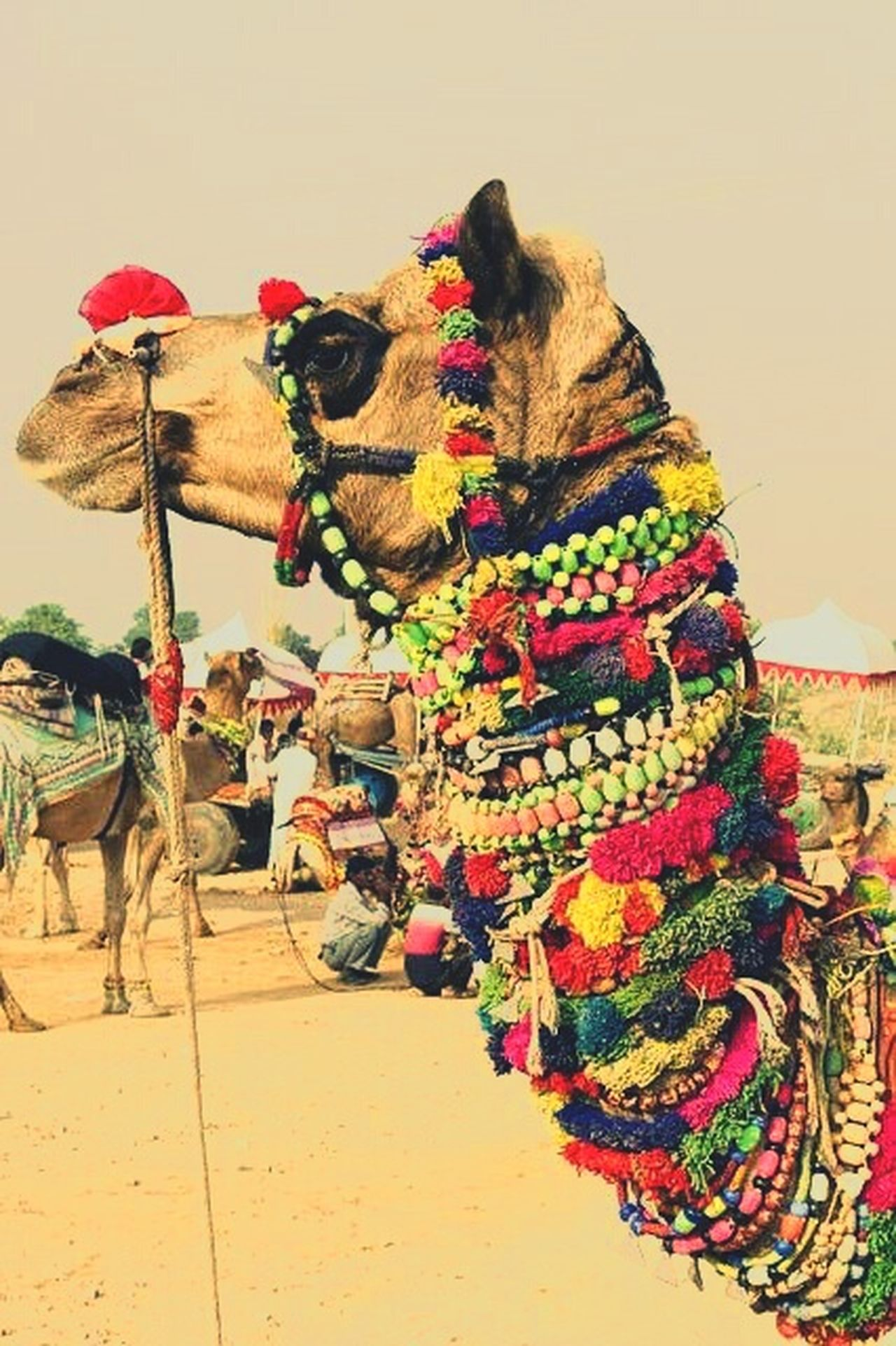 Multi Colored Outdoors Day Animal Camel India Rajasthan_diaries Rajasthan Beauty