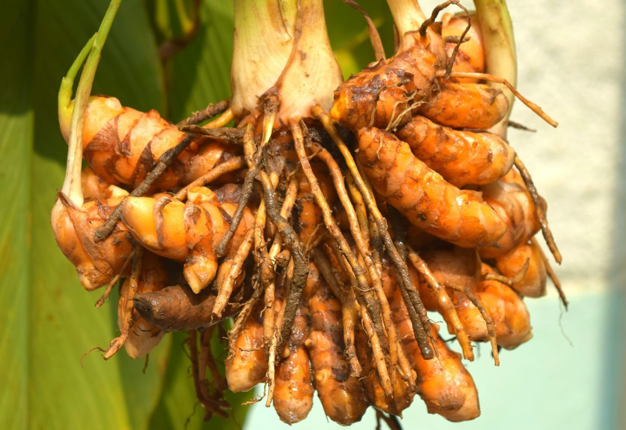 Curcuma longa - raw turmeric rhizomes, has highly medicinal value Medicinal Value Medicinal Plant Medicinal Herb Food And Drink Freshness Nature Macrophotography Eyeemgallery Eyeem Collection Eyeem4photography EyeEm Nature Lover Eyeemphotography EyeEm Gallery Eyeem Market Turmeric  Turmeric Plantation Freshness Herbal Turmeric Rhizome Healthy Eating Beauty In Nature Yellow Dye Cooking Ingredient Cooking Food