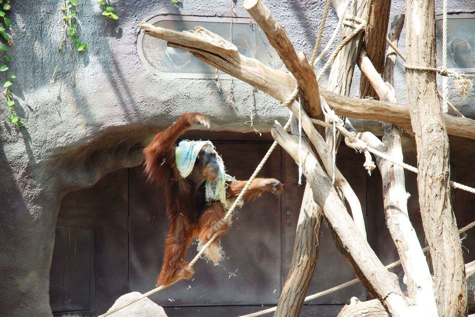 Orangutan Mothernature Zoo Wildlife Animals Redhead