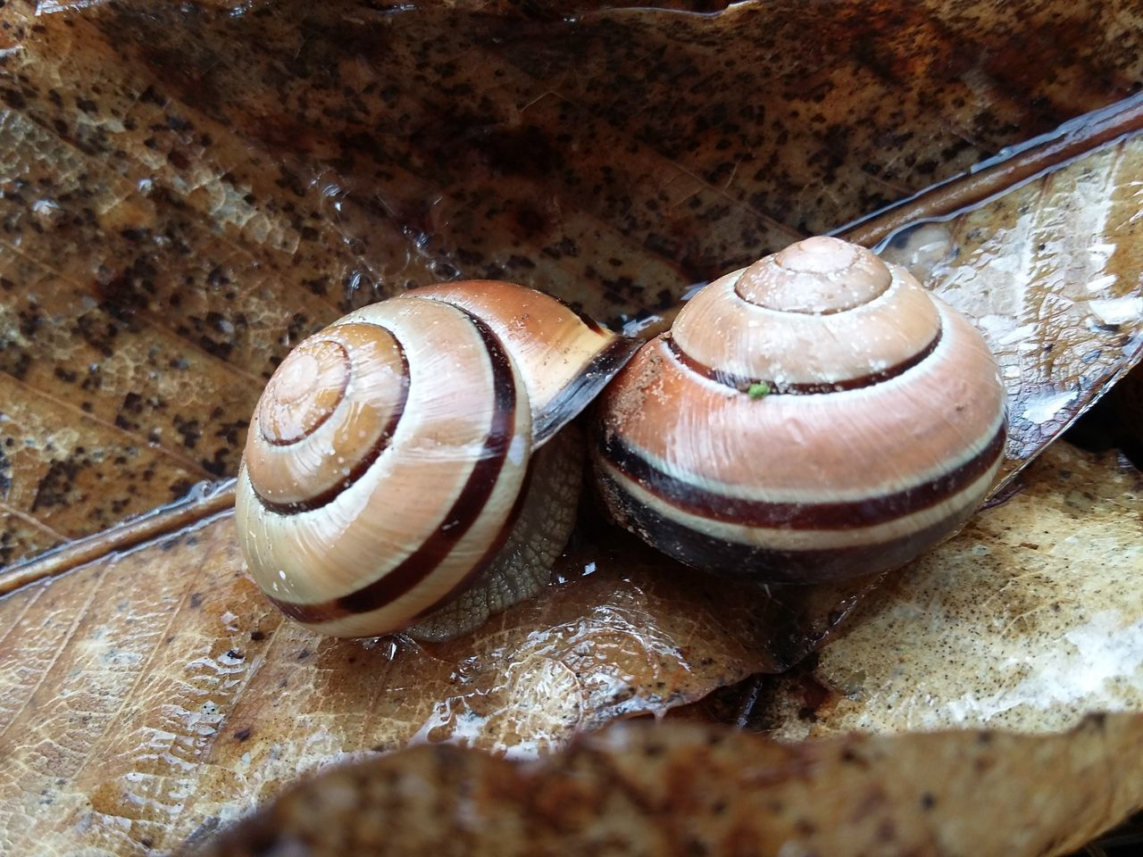 It's Raining And They Like It Animal Themes Snailslove Close-up Outdoors Day Leaves 🍁 Climbing in Weisenheim,Deutschland