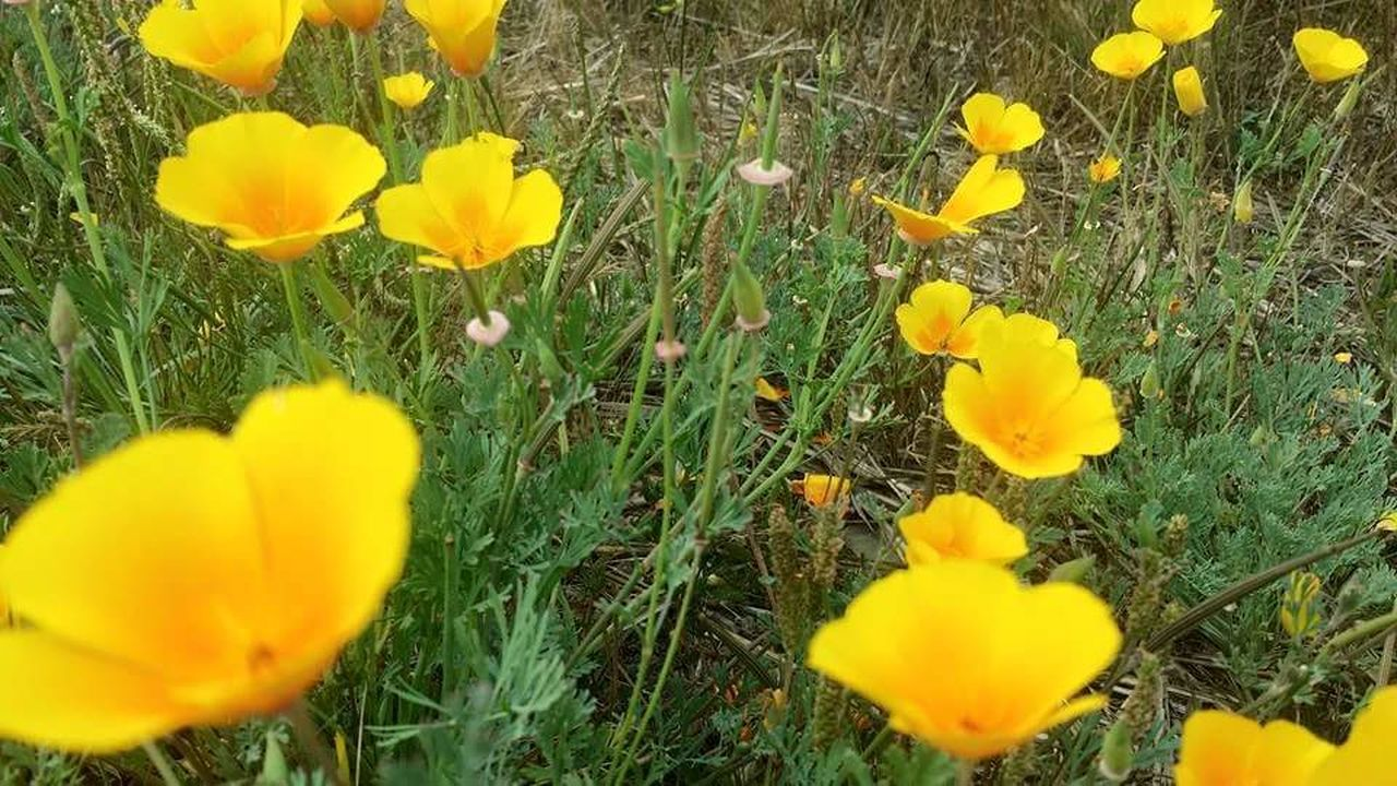 My favorite time to visit California is when the poppy's are in bloom California Poppy Flower Power Beautiful Yellow Its My Nature Enjoying Life Sunshine