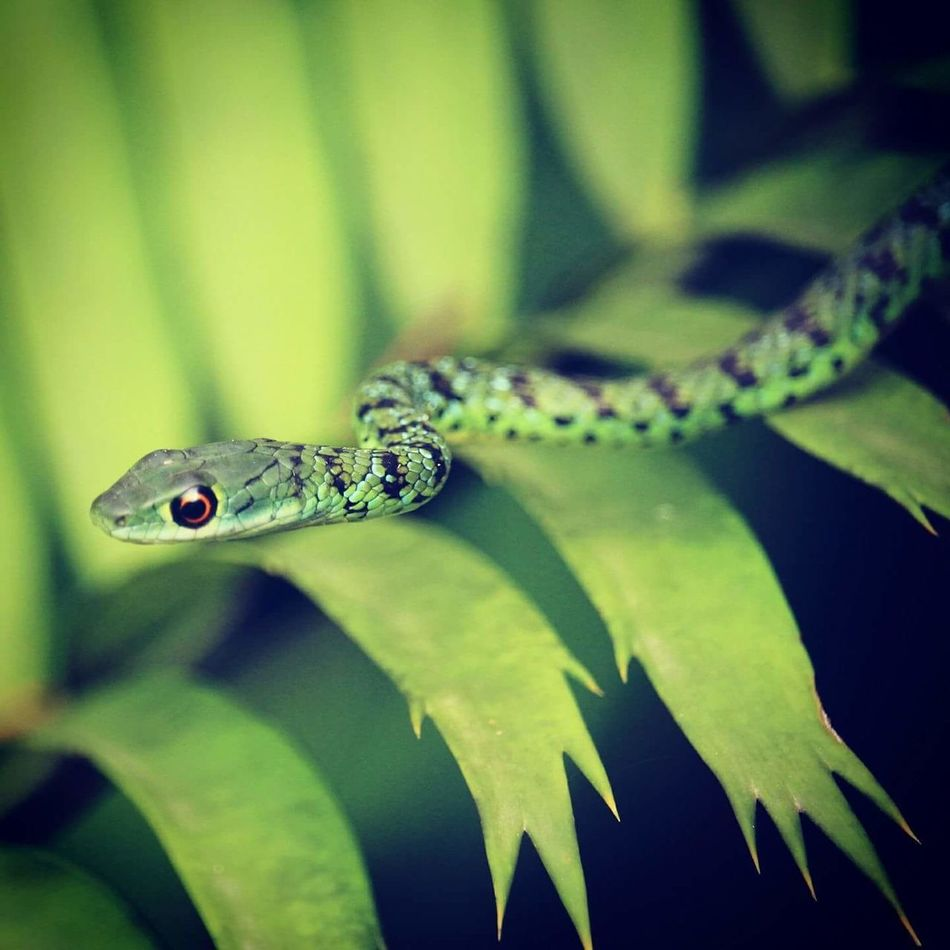 Serpents wrath Reptile Nature Close-up Green Color Outdoors Snakes Are Beautiful Snake Eyes Snake Photography SnakeEyes
