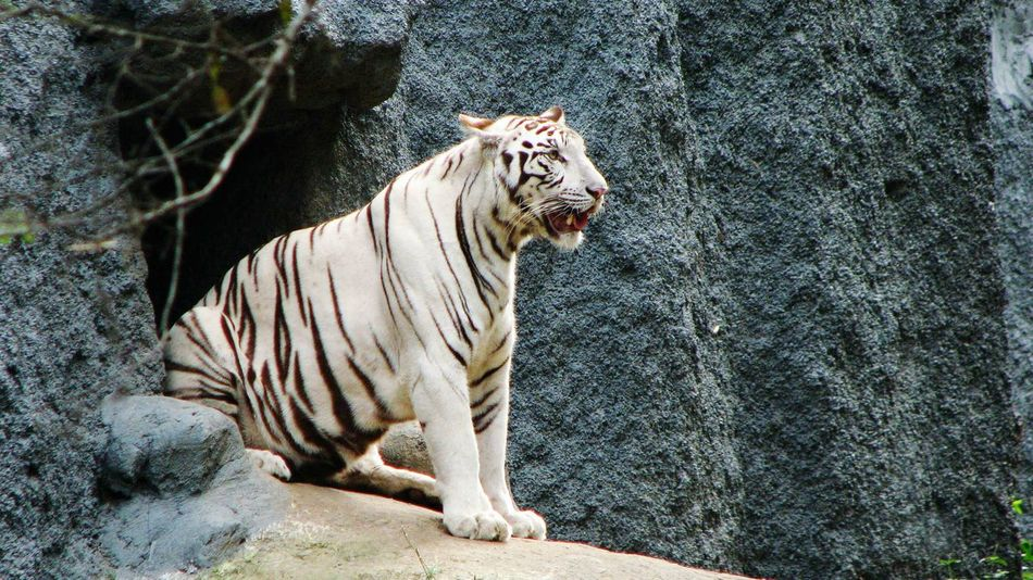 Beautiful stock photos of tiger, Animal Themes, Animal Wildlife, Animals In The Wild, Day