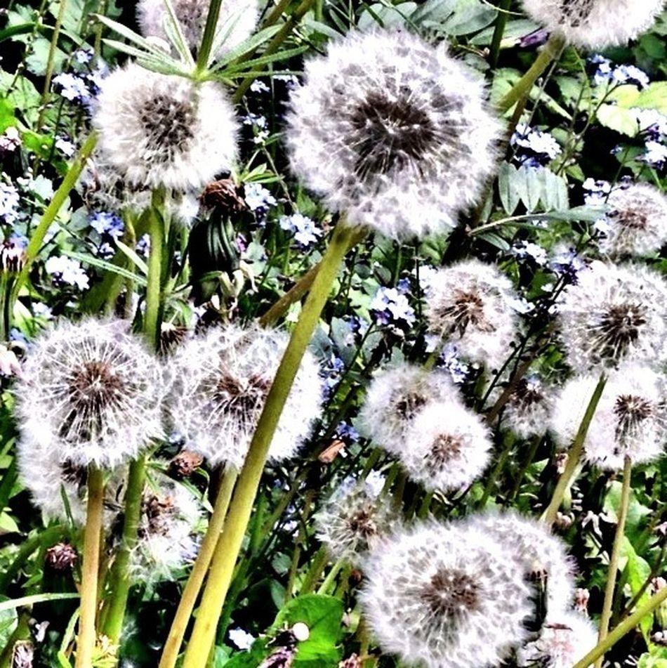 Dandelions Flowerporn Eye4photography  EyeEm Nature Lover