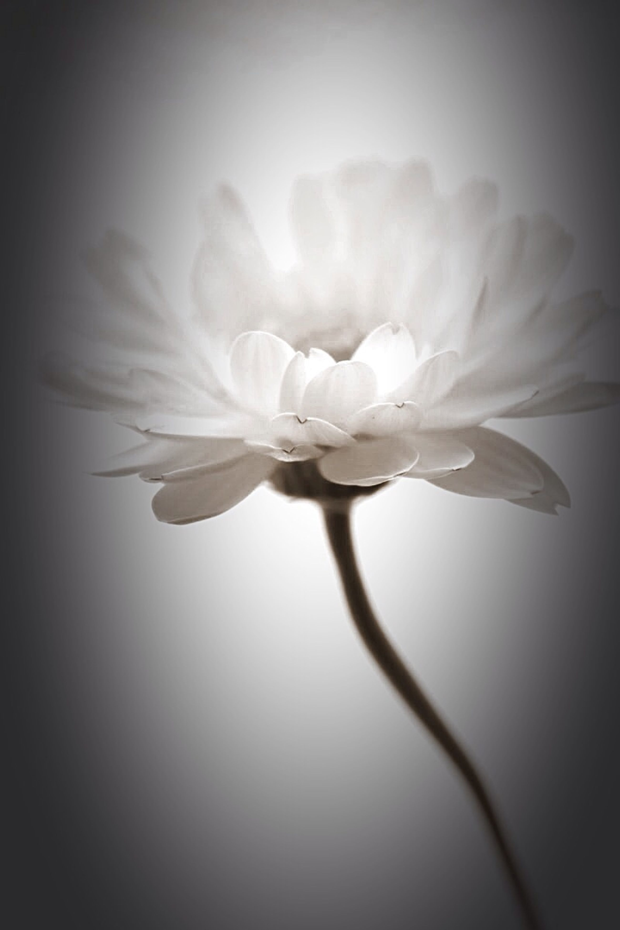 flower, petal, freshness, fragility, flower head, beauty in nature, growth, close-up, single flower, nature, white color, stem, blooming, plant, in bloom, blossom, studio shot, stamen, focus on foreground, no people