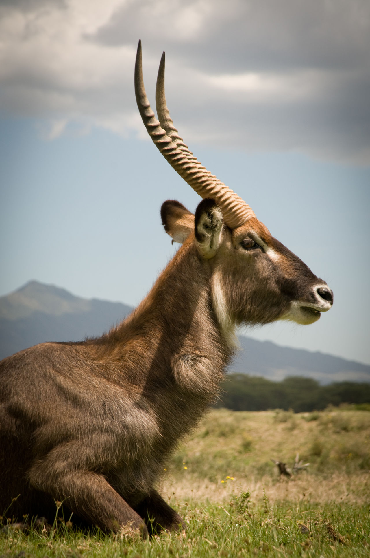 Amimal Faces Animal Photography Animal Portrait Animal Wildlife Animals In The Wild Beauty In Nature Cresent Island Deeply Relaxed Kenya Longonot Naivasha Nature Relaxed Waterbuck Wildlife Wildlife & Nature Wildlife Photography