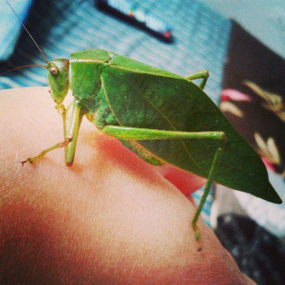 Tal vez un día de estos agarre el bicho equivocado... jajajajajaja I think one of these days I'll catch the bug wrong.... Insects  Orthoptera Neópteros Phasmatodea Arthropoda Green Grasshopper