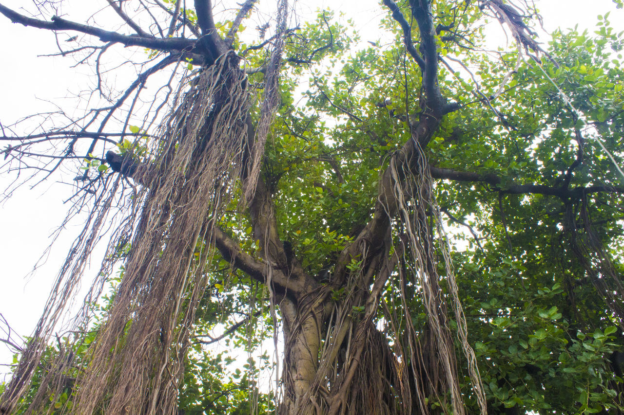 Banyan Tree root @ Nani Daman Banyan Tree Banayantree Beauty In Nature Branch Day Growth Long Roots Low Angle View Nature Outdoors Roots In Air Tranquility Tree Tree Trunk