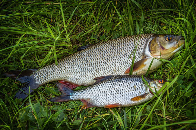 Fish roach and ide on the grass. Fresh. Freshwater Angling Animal Themes Closeup Fish Fishing Food Freshness Grass Green Color Leuciscus Idus Nature No People Outdoors Protein Raw Roach Rutilus Tail Trophy