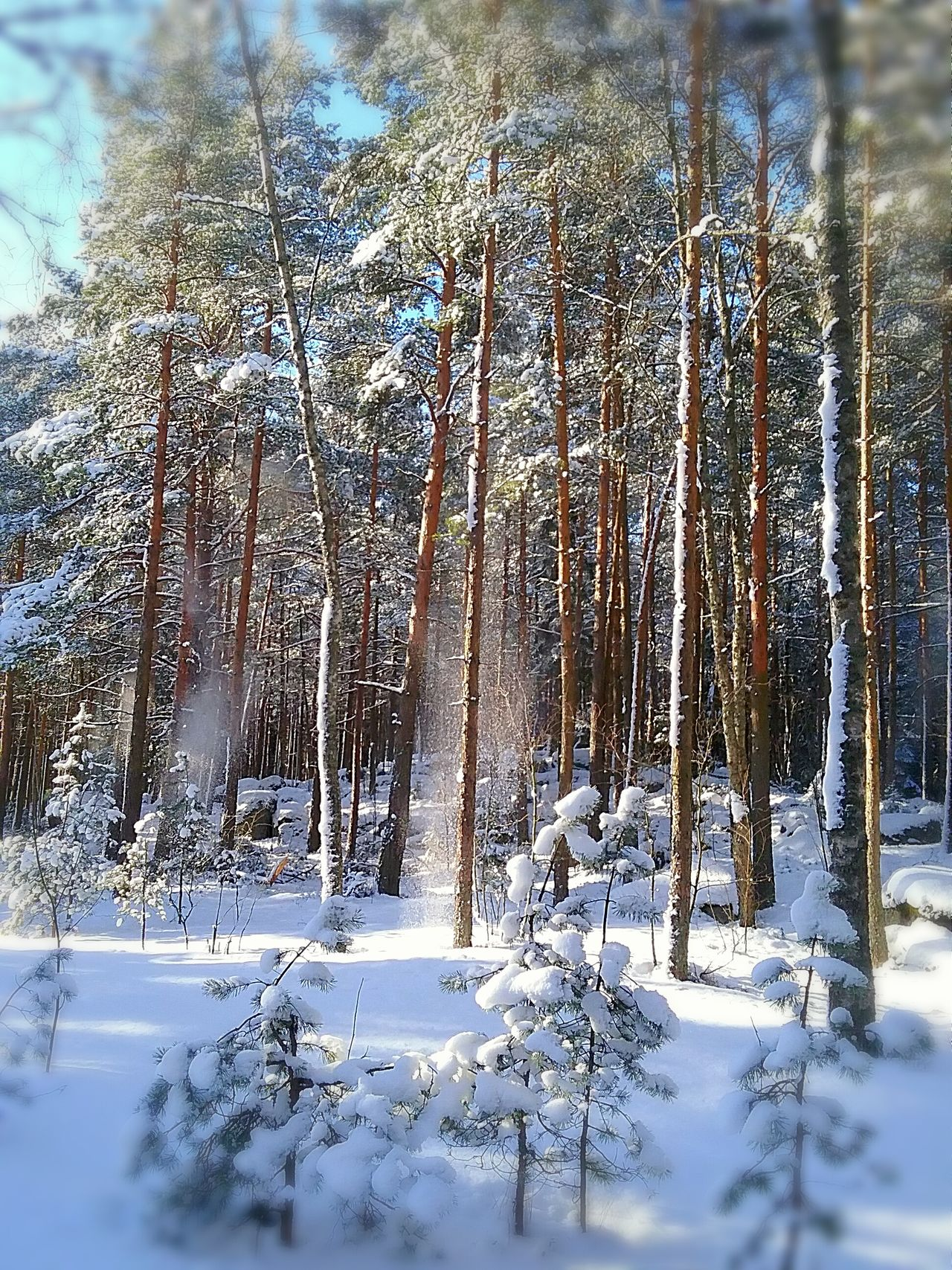 Snow Falling from a Tree . Sunny Morning In The Forest . Enjoying The Sun Springtime Snowy Forest Sun Shining Woods Outdoors Outdoor Photography Great Day  Strolling Around Walking In The Woods Nature Photography Naturelovers Snowy Landscape Selective Focus Photography In Motion Finland