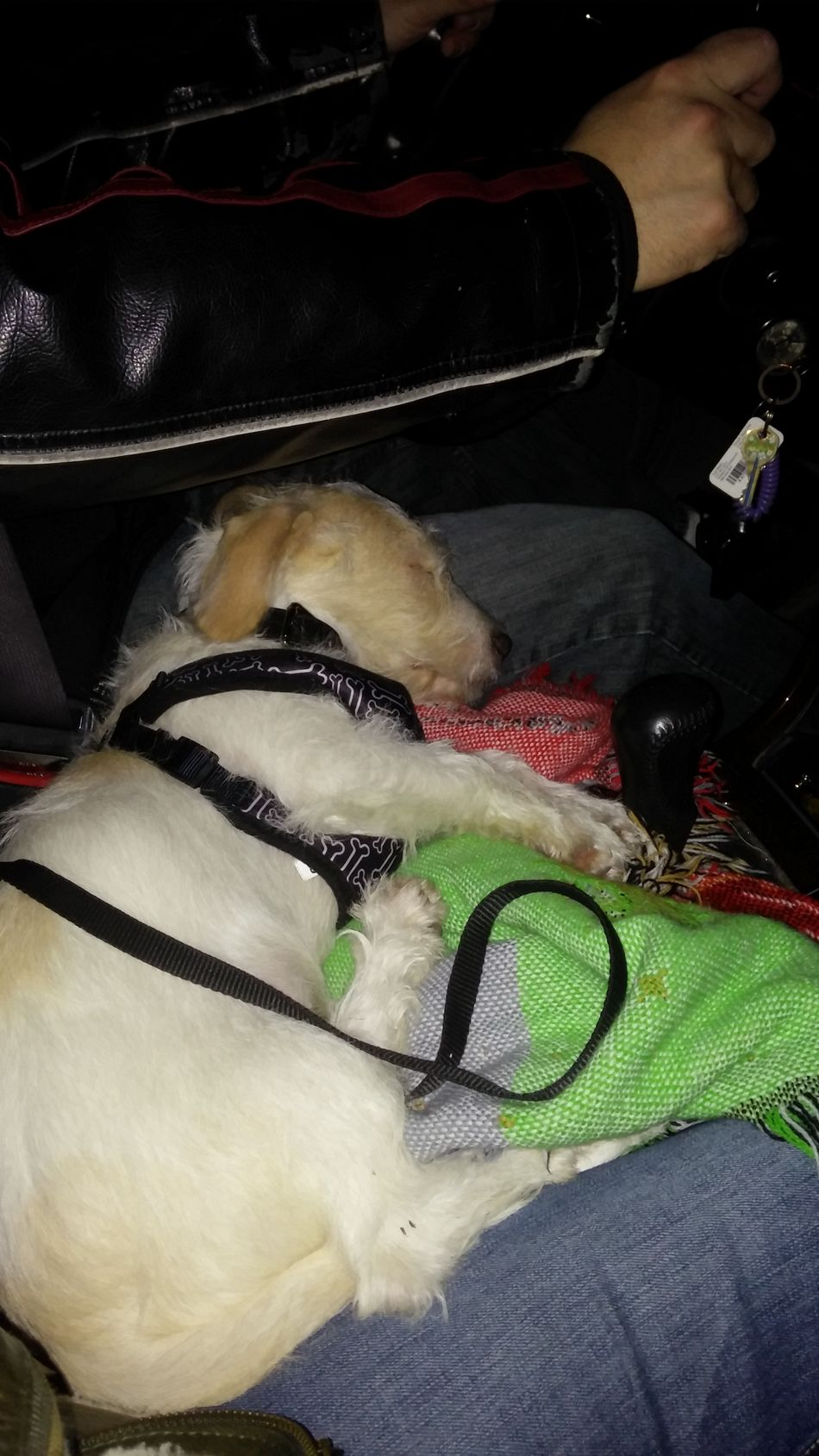 The trip to Petsmart for a new collar and harness was exhausting. Deafdogsrock Bummer