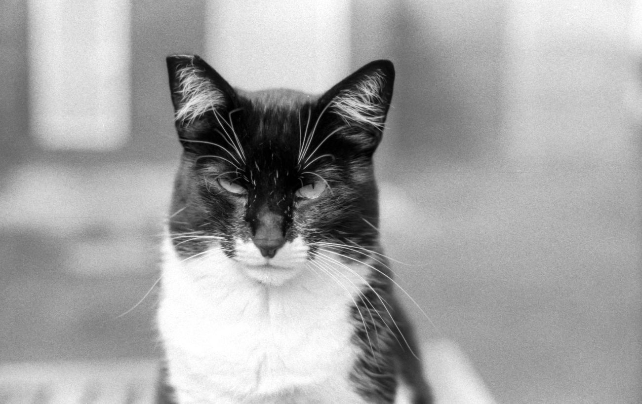 Monochrome Photography enough photos pls!! This beautiful Cat (felix) tolerates me photographing him. Shot on Expired Fomapan100 Film ............... Animals Capture The Moment Black & White Anolog Photography