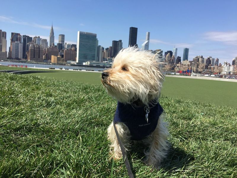 Dog sits in park in Queens, NYC overlooking Manhattan. Animal Architecture Bichon Blue Building Exterior Built Structure City Cityscape Cream Day Dog Grass Manhattan One Animal Outdoors Pet Seated Sky Skyline Skyscraper Sunlight United Nations White Yorkie