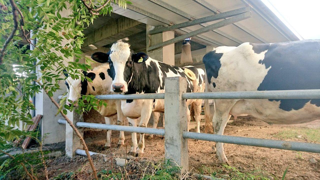 Cow Lookatme