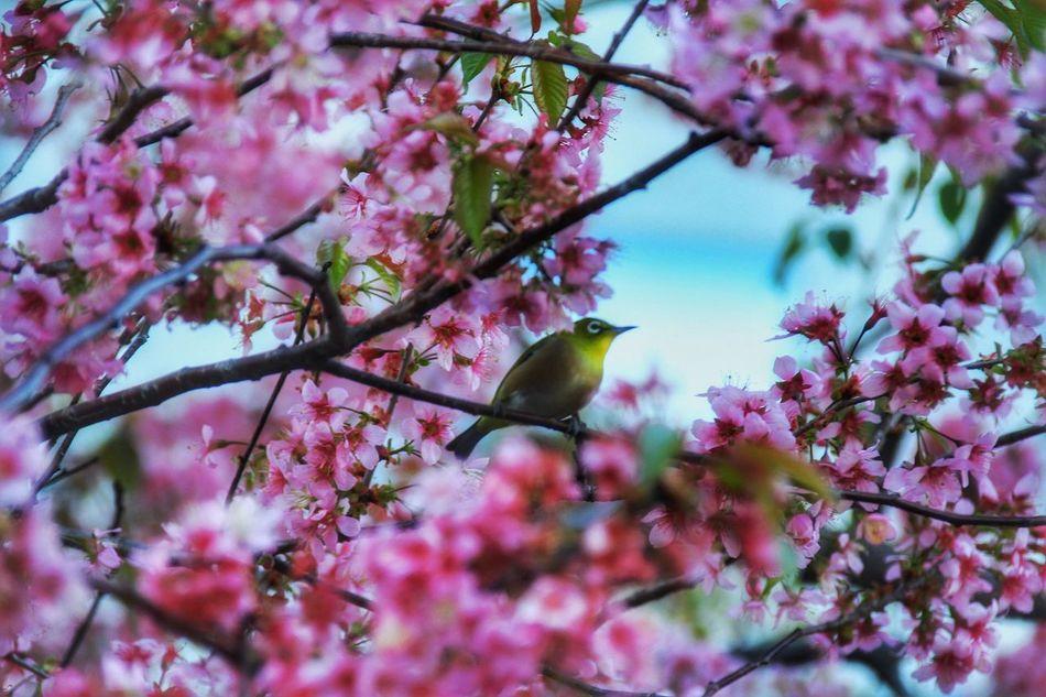 都会で見つけた冬のサクラにほっこり。 桜 サクラ Bird メジロ Japan あなたと見隊 品川
