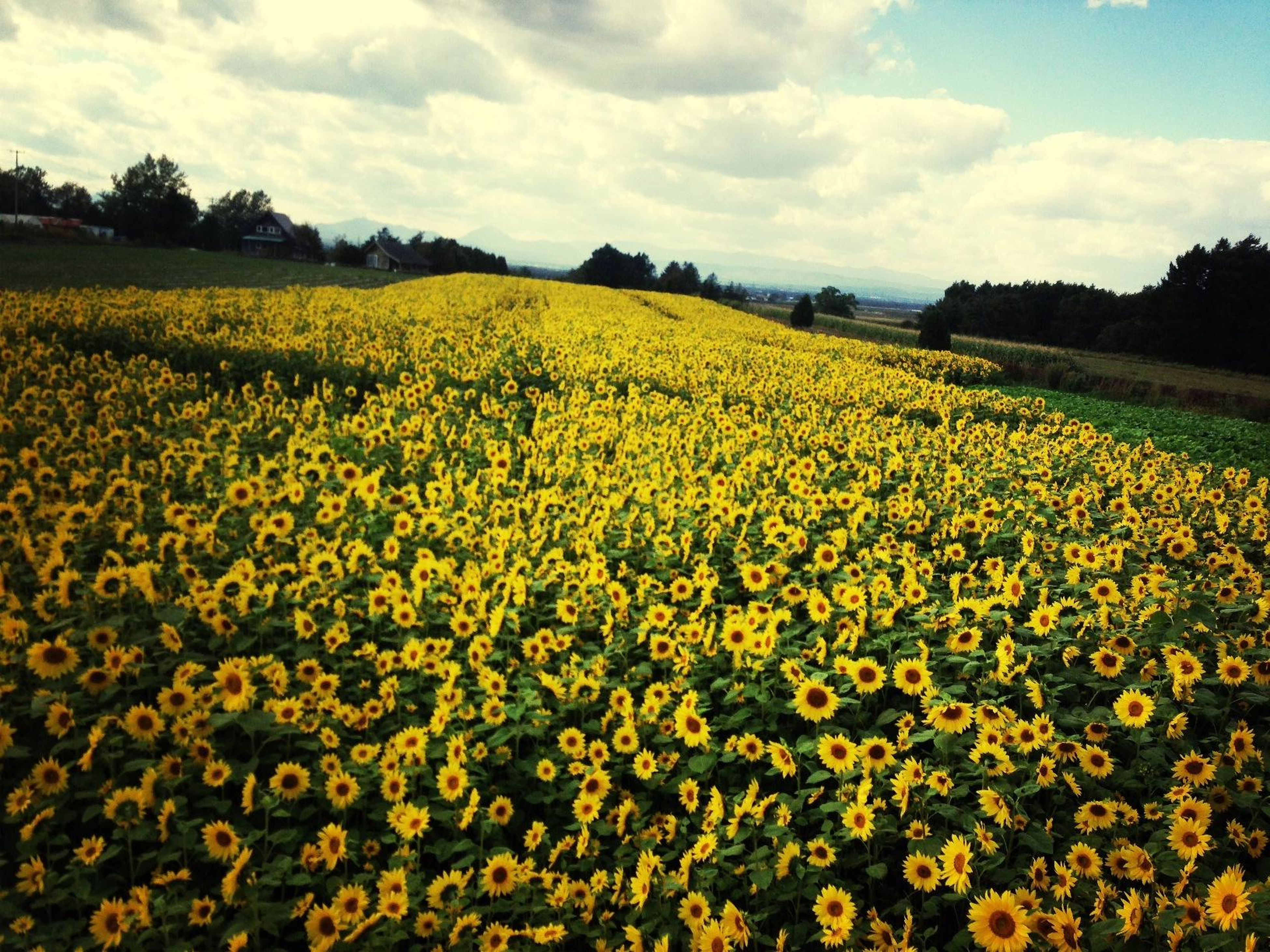 flower, yellow, field, beauty in nature, rural scene, agriculture, growth, sky, freshness, landscape, tranquil scene, nature, scenics, abundance, cloud - sky, tranquility, farm, oilseed rape, fragility, blooming
