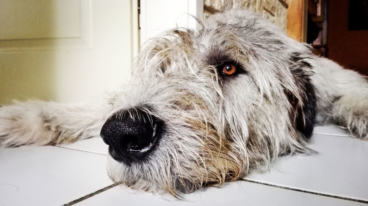 Domestic Animals Dog Close-up One Animal Indoors  Relaxation Lying Down Animal Nose Autumn 2016 Dogwalk Irish Wolfhound Cearnaigh Who Let The Dogs Out? Dogslife Dogs Of Autumn Dogs Of EyeEm September 2016