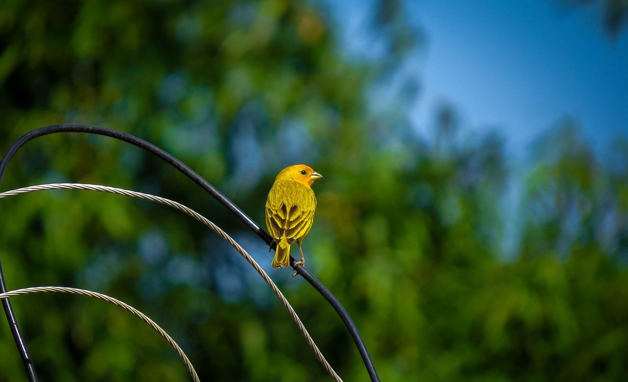 Close-Up Of Yellow Canary On Wire