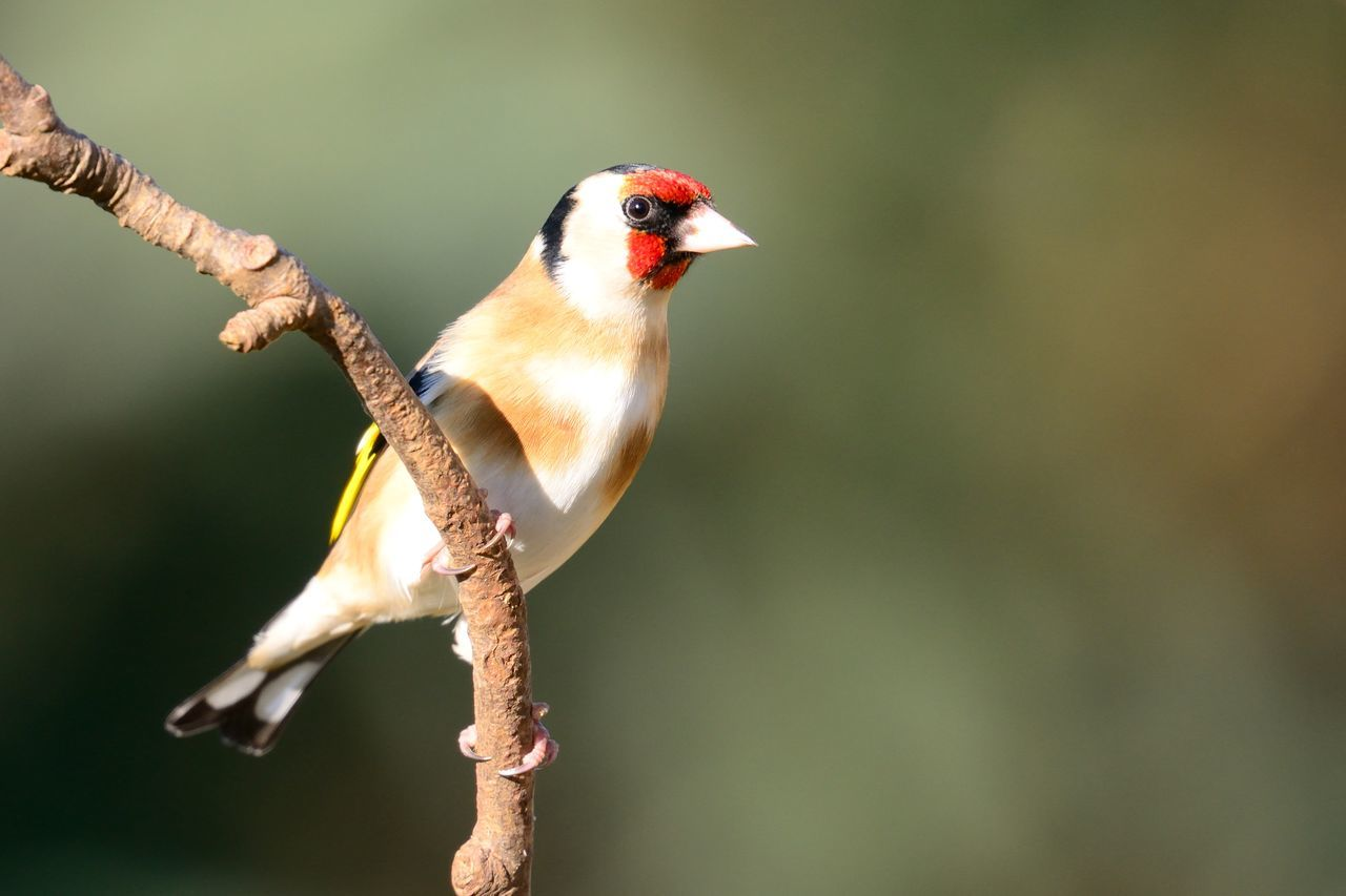 Beauty In Nature Bird Birds Branch Check This Out Close-up Day Eye4photography  EyeEm Best Shots EyeEm Gallery EyeEm Nature Lover Focus On Foreground Goldfinch Nature Nature Photography Nature_collection Naturelovers No People Outdoors Perching Selective Focus Small Songbird  Taking Photos Wildlife