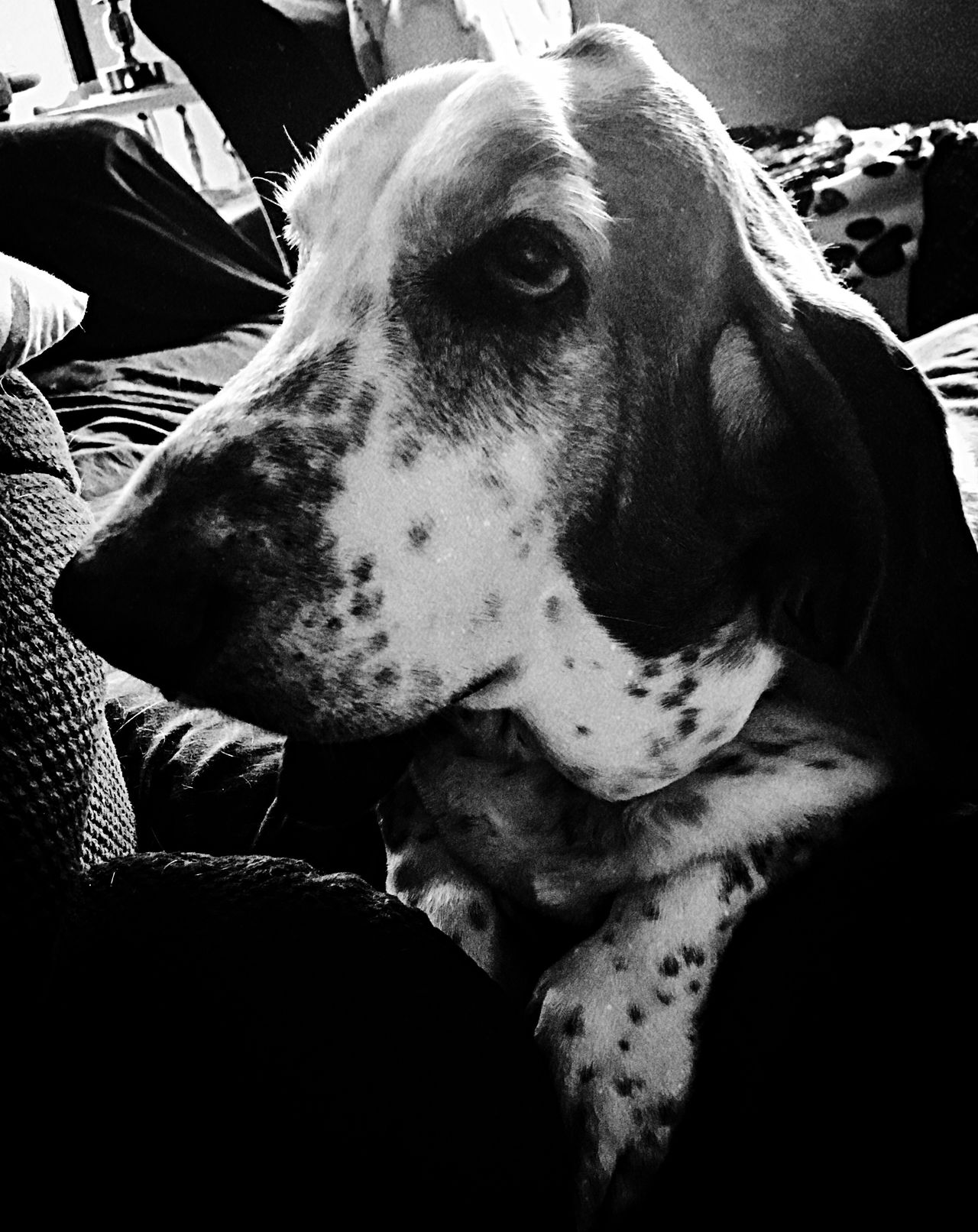 William the poser Profile Picture Blackandwhite Photography Pets Dog Indoors  Close-up IPhone Photography Bassetmoments Bassethoundadventures Iphonephotography Bassethoundsare Best Ilovemybassethounds Portrait Upclose And Personal