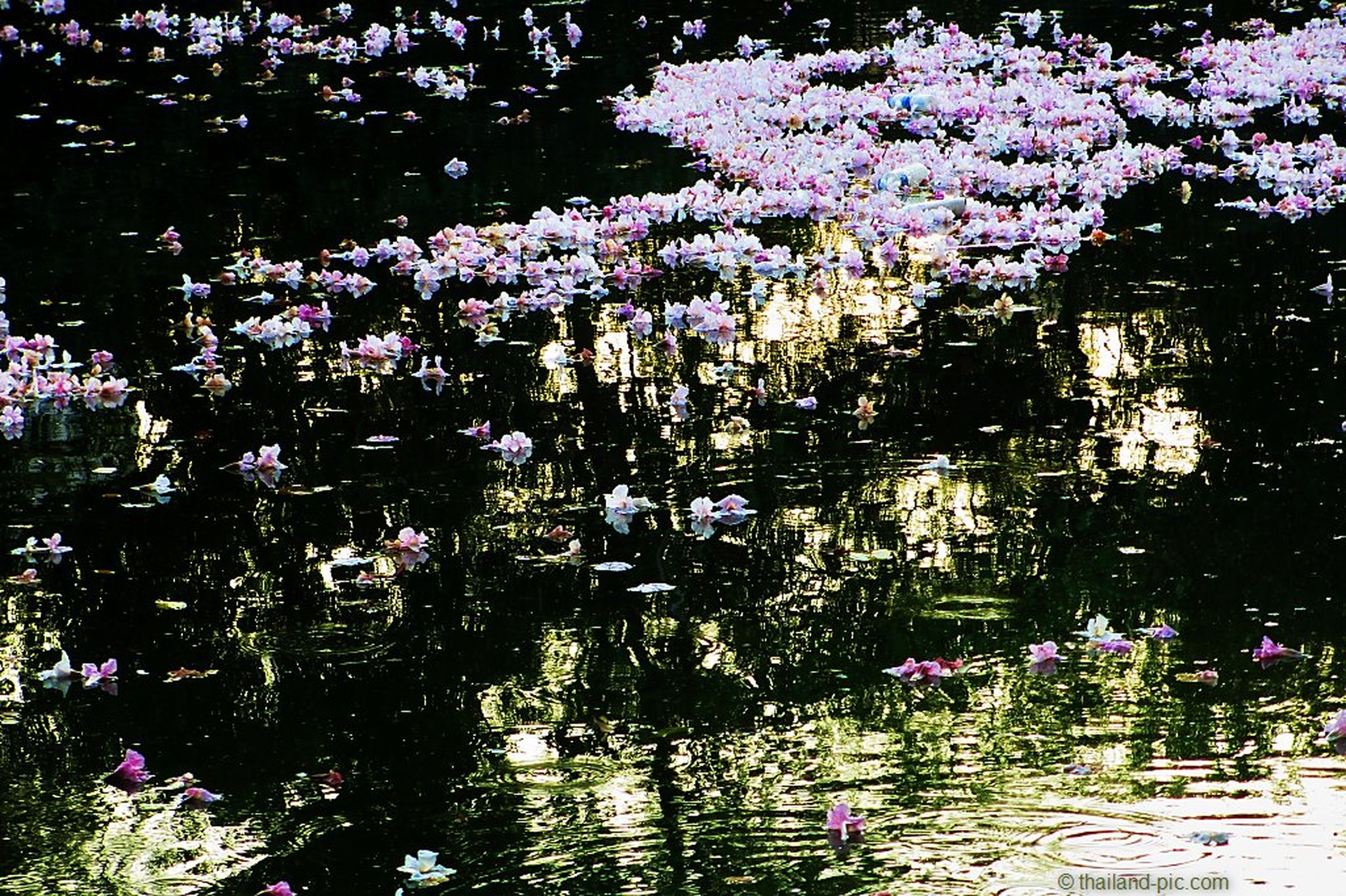 flower, water, growth, freshness, pink color, beauty in nature, nature, fragility, purple, tree, plant, lake, reflection, leaf, petal, blooming, branch, outdoors, day, park - man made space