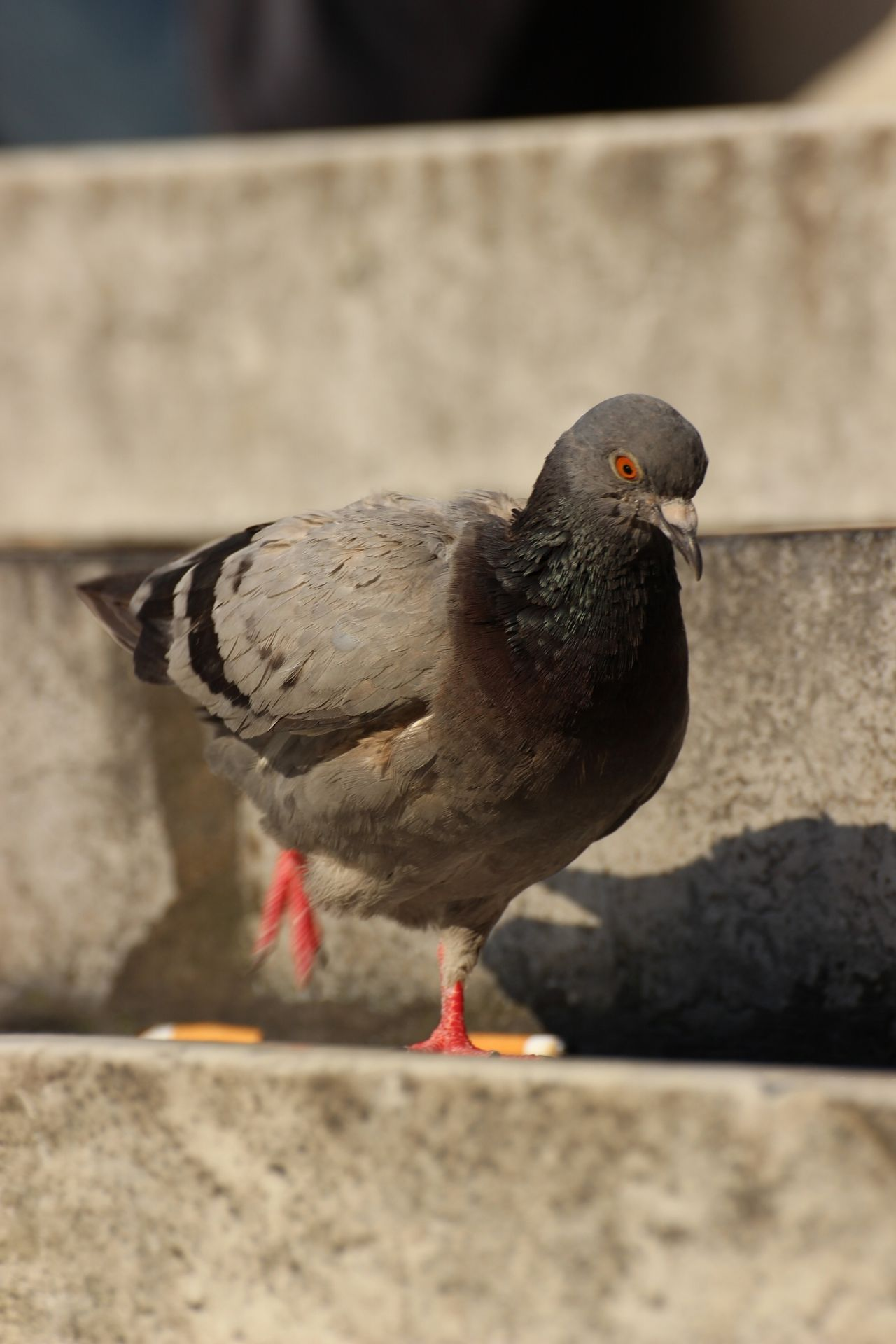 Animal Poll Animal Themes Bird Cigarettes Close-up One Animal Picoftheday Pigeon Pigeonslife Pollution Walking