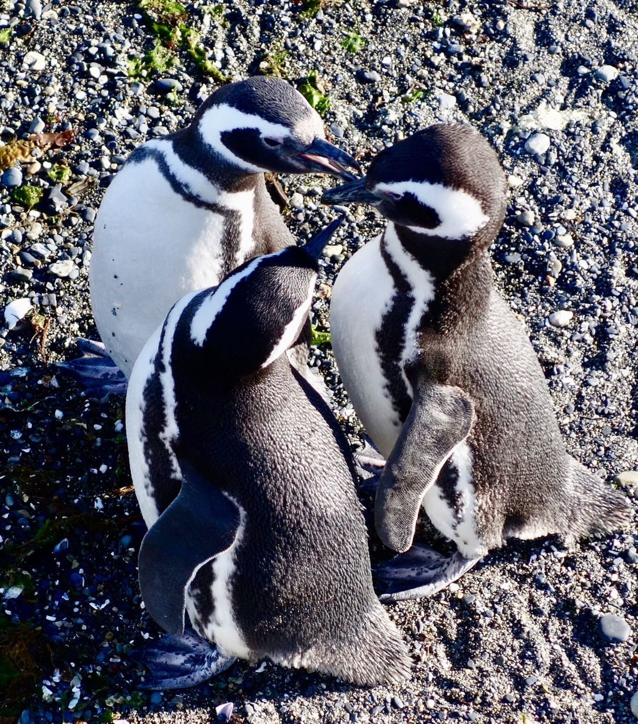 Closeness Friendship Togetherness Isla Martillo Tierra Del Fuego Chatting With Friends Magallanic Penguin Penguins Three Animals Animal Themes Penguin Animals In The Wild Togetherness Young Bird Animal Wildlife No People Outdoors Bird Young Animal Day Nature Mammal