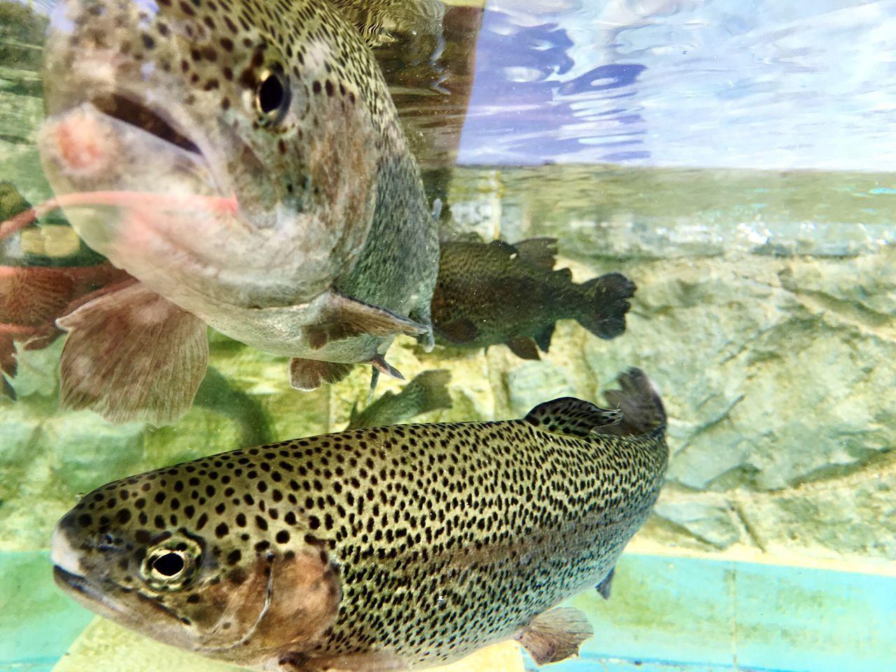 fish, animal themes, one animal, sea life, animals in the wild, underwater, no people, close-up, animal wildlife, water, aquarium, sea, undersea, nature, day, indoors, animal fin
