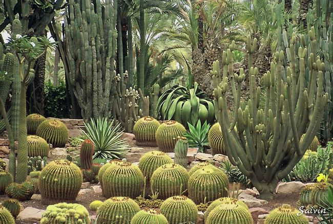 Exotic Garden Palmeral De Elche Elche SPAIN EyeEm Spain Shape Texture Cactus Cactus Garden Ladyphotographerofthemonth EyeEm Best Shots Shades Of Green  Green Nature's Diversities Found On The Roll The Essence Of Summer Color Of Life