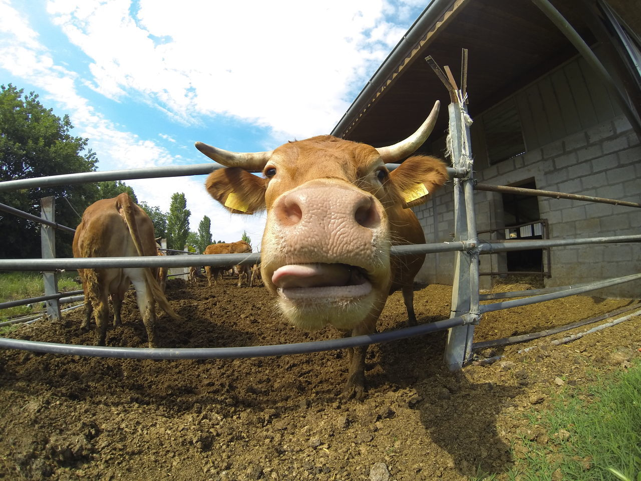 Beautiful stock photos of cow, Animal Mouth, Animal Themes, Animal Tongue, Architecture